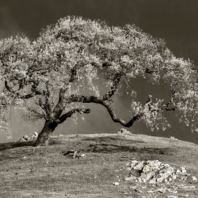 Lone Tree by Jacob Padrul - Black & White Landscapes ( leaning, tree, single tree, black and white, lonely )