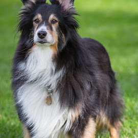 Rescue Sheltie by Gary Lura - Animals - Dogs Portraits ( adopt, rescue, dog, sheltie, portrait )