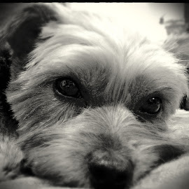 Murphy by Eva Kirkman - Animals - Dogs Portraits