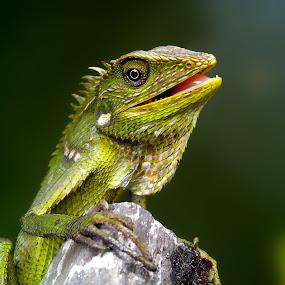 bunglon surai dewasa by Hendrata Yoga Surya - Instagram & Mobile Android ( reptiles, green crested lizard, londok, bunglon surai )
