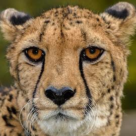 Cheetah! by William Sawtell - Animals Lions, Tigers & Big Cats ( cheetah, animals, nature, wildlife, beauty )