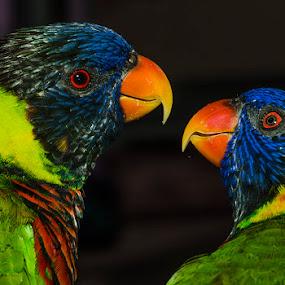 by Lisa Coletto - Animals Birds ( bird, lorokeets, animal,  )