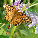 Variegated fritillaries (mating)