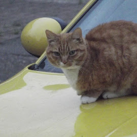 Neighbors Cat on their Car  by Danny Fowler - Animals - Cats Playing ( car, raw, cats, nature, neighborhood,  )