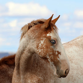 Baby Blues by Kathy Tellechea - Animals Horses ( clouds, filly, roan, wild, mustang, sky, horses, blue eyes )