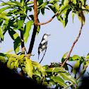 Pied Triller (Local name: Ibon-pare)