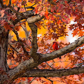 Cardinal in the fall woods by Brent Morris - Landscapes Forests