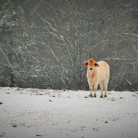 ~alone~ by Michelle Chamblee - Animals Other ( winter, snowy cow, lonely, snowy day, snow photo,  )