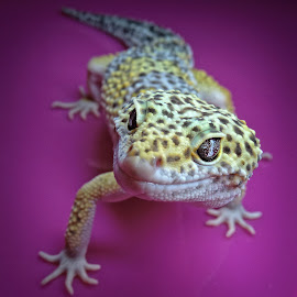 Geko by Малък Сечко - Animals Reptiles ( macro, animals, geko, reptile, close )