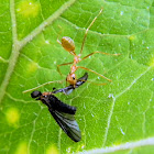weaver ant and fly (prey)