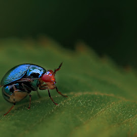 Weevil by A Friyana Wiradikarta - Animals Insects & Spiders ( bug, weevil, insect,  )