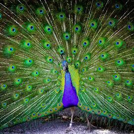 Peacock by Carmen Arrigo - Novices Only Wildlife ( bird, peacock, animal )