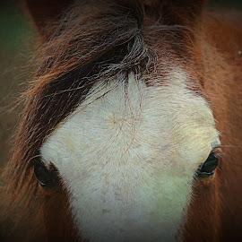 Eyes to the Soul by Renee Burmer - Animals Horses ( animals, horse )