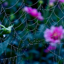 Webs by GPictoria -Gopu's Photography - Nature Up Close Webs ( webs, nature, beauty, landscape, close up )
