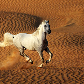 Arabian Horse by Joseph Antony - Animals Horses
