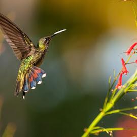 Ruby by Jacques Taillefer - Animals Birds ( bird, flying, rubbish, samana, humming bird, fly, flight )