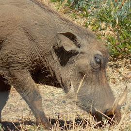 Warthog Sow by James Moffat - Novices Only Wildlife ( south africa, pilanesberg, wildlife, ivory, warthog )