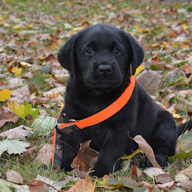Growing Up by Deanna Clark - Animals - Dogs Puppies ( labrador retriever, puppy )
