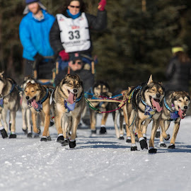 Iditarod Start 1 by Bruce Wayne - News & Events Sports ( dogs, ceremonial, start, alaska, iditarod )
