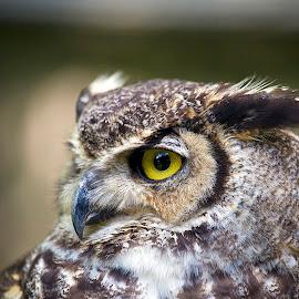 Great Horned Owl by Larry Gambon - Animals Birds ( bird, raptor, great horned owl,  )