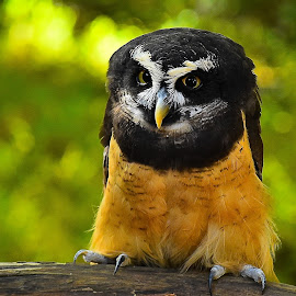 Estrella-Spectacled Owl by Roy Walter - Animals Birds ( spectacled owl, captivity, animals, raptor, birds )