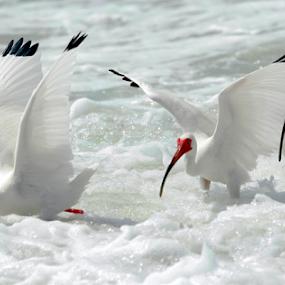 Ibis in Unison by Rita Colantonio - Animals Birds ( bird, flight, seashore, ibis, fly, florida, birds )