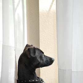 Waiting for his owner by Jane Rodrigues - Animals - Dogs Portraits ( short hair, window, watching, waiting, puppy, terrier, chihuahua, dog, black,  )
