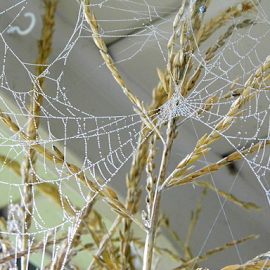 A Web by Lorie  Carpenter  - Nature Up Close Webs ( webs, nature, white, stalk, brown )