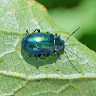 Unknown leaf beetle