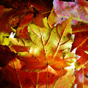 by Lisa Montcalm - Nature Up Close Leaves & Grasses ( fall leaves on ground, orange, fall leaves, red, autumn, fall, leaves, maple )