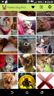Yorkie Dog Picture Gallery - screenshot