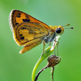 Dart Skipper Butterfly by Sis Jimbo - Animals Insects & Spiders