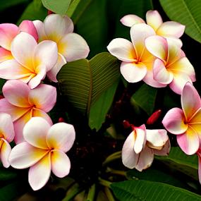 Pink Frangipani 108 by Mark Zouroudis - Flowers Tree Blossoms