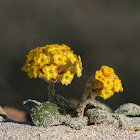 Yellow Sand Verbena