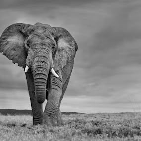 Elephant Bull on the Plains by Michael Price - Black & White Animals ( river bend lodge, addo elephant national park, amazing subject in the right light, elephant, elephant in light, elephant in contrasting light )