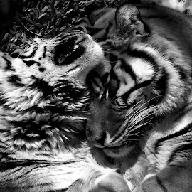Tiger Love by Casey Nugent - Novices Only Wildlife