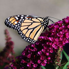 Monarch by Lori Kulik - Animals Insects & Spiders ( butterfly, insect )
