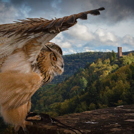 Owl  by Hal MacDonald - Animals Birds