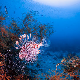 Lion fish by Catalin Ienci - Animals Fish ( reef, underwater, lion fish, reefscape, sea, ocean )