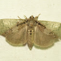 Variable Tussock Moth