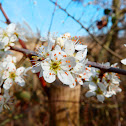 Blackthorn tree in bloom