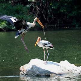 Painted Stork by Krishna Prasad - Animals Birds ( water, bird, stork, ranganathittu, crane )