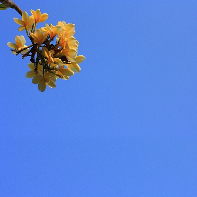 Bunga by Rully Kustiwa - Instagram & Mobile Android ( flower, bluesky, instafoto, yellow,  )