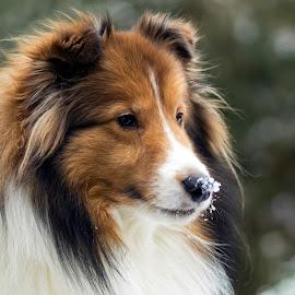 Sheltie in the Snow by Trent Eades - Animals - Dogs Portraits ( winter, snow, dog, sheltie, portrait )