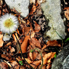 Dandelion by Claudiu Petrisor - Nature Up Close Other plants ( water, source, leafs, stone, golors )