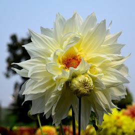 by Joy Bhattacharya - Nature Up Close Gardens & Produce ( white flower, dalia, family, garden )
