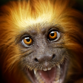 Monkey Expression by Roy Ardy - Animals Other Mammals ( animals, other mammals, monkey, Free, Freedom, Inspire, Inspiring, Inspirational, Emotion,  )