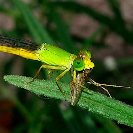 morning breakfast!! by Varun Jain - Novices Only Macro ( macro, nature, damselfly, food, , Backyard, insects, reptiles, living creatures, green, colors, daily life )