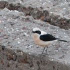 Eastern Black-eared-Wheatear
