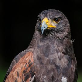 Red Falcon by Eva Kamienska-Carter - Animals Birds ( bird, red, falcon, prey, portrait,  )